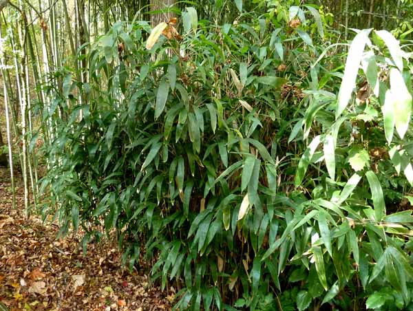 Broadleaf bamboo