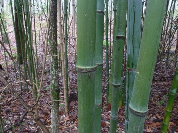 Large Node bamboo