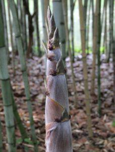black-stripe-bamboo-shoot