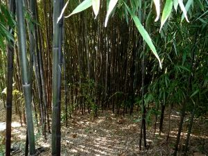 Black stripe bamboo shoot