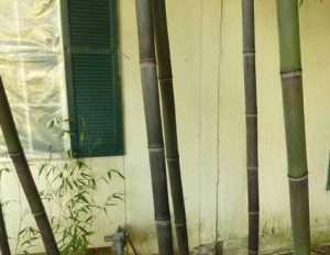 Black bamboo canes