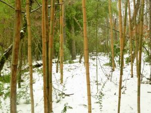 Castillion bamboo in the snow