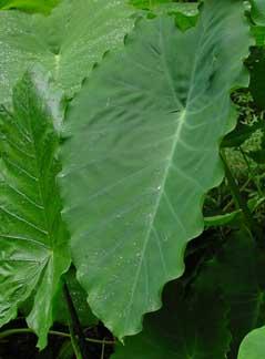 Colocasia esculenta ruffles