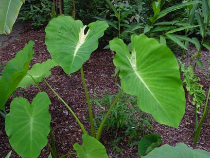 Colocasia Nancy's Revenge