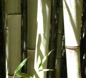 giant gray henon bamboo