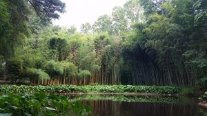 Giant bamboo beside pond