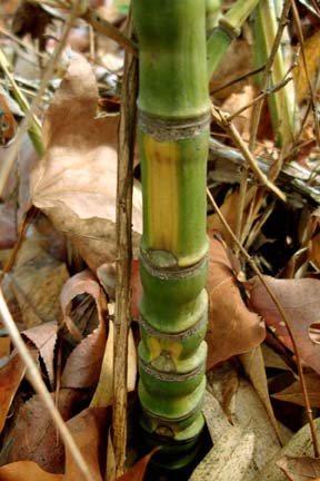 Phyllostachys aurea 'Flavescens-inversa'