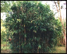 Clump of Arrow bamboo