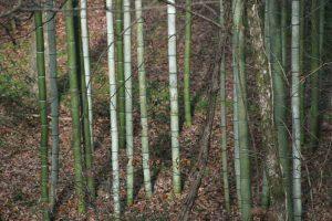 vivax bamboo