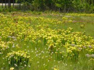 FIeld of carnivorous plants