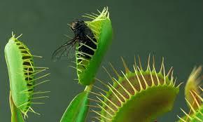 Venus Flytrap with bug