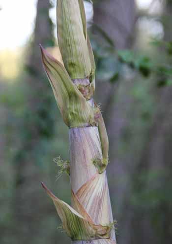 Yellow groove bamboo shoot
