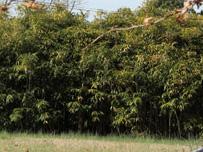 arrowbamboo