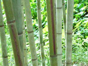 Black Stripe Bamboo
