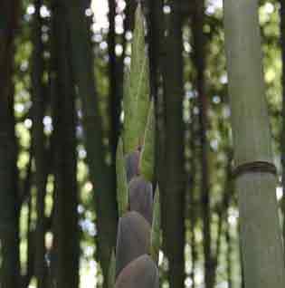 Incense Bamboo