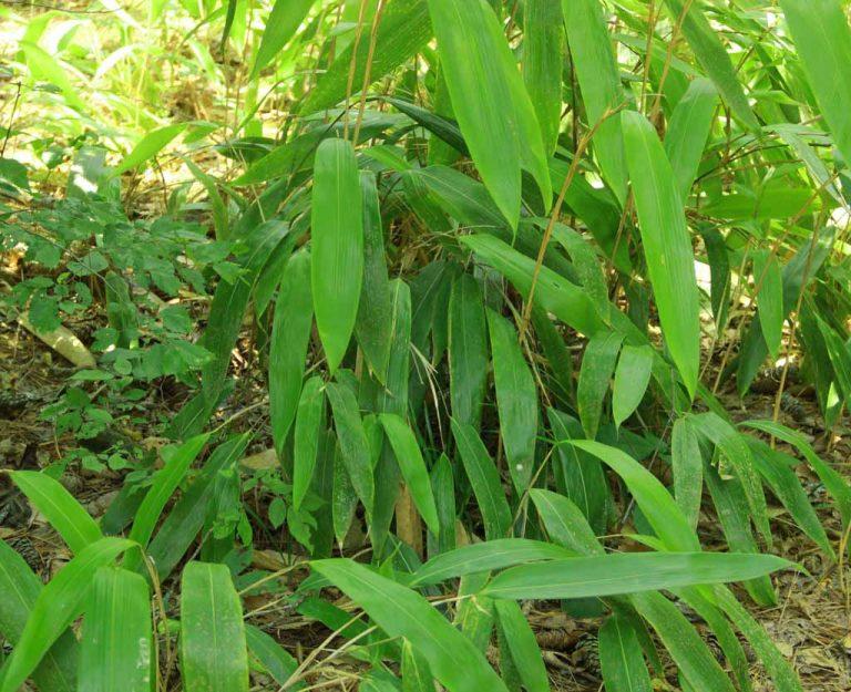 Giant leaf bamboo