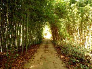 Robert Young bamboo